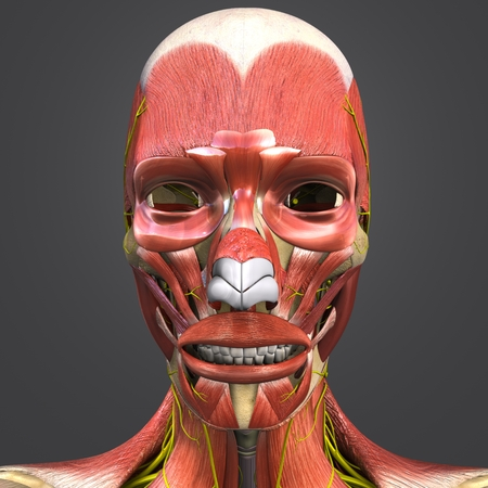 Facial Muscles and Bones with Nerves