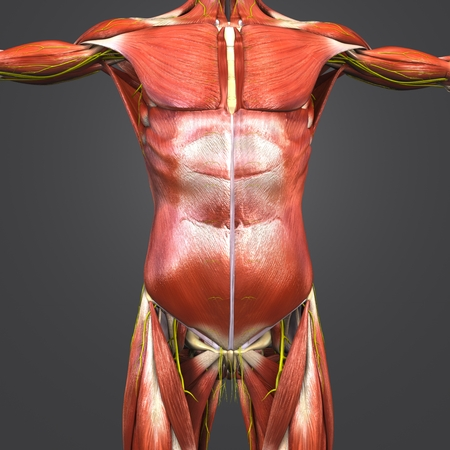 Human Anatomy Muscles and Bones with Nerves Stock Photo