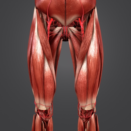 Muscles with Arteries of Hip and Thigh Anterior view Banque d'images - 101878217