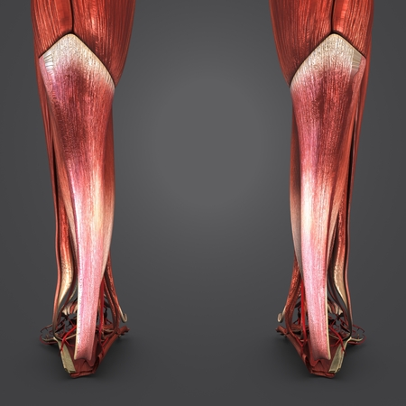 Muscles of Leg with Arteries Posterior view closeup Banque d'images