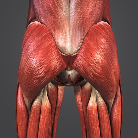 Hip Muscles with Arteries Banque d'images - 101878340
