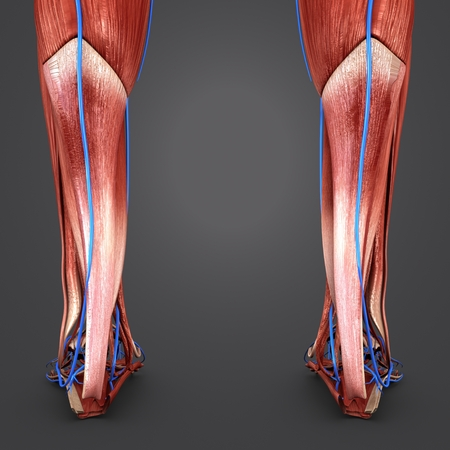 Muscles of Leg with Veins Posterior view closeup