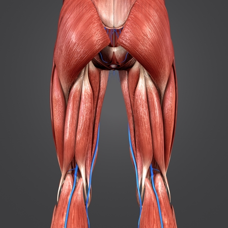 Lower Limbs with Veins Posterior view Stock Photo