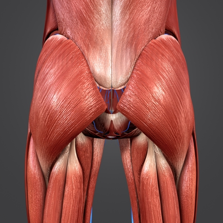 Hip Muscles with Veins posterior view
