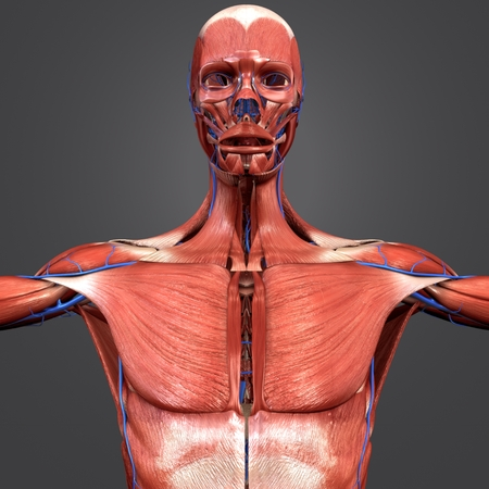Muscular Anatomy with Veins Banque d'images