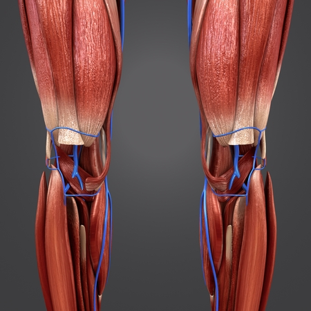 Knee joint with Veins Anterior view Banque d'images