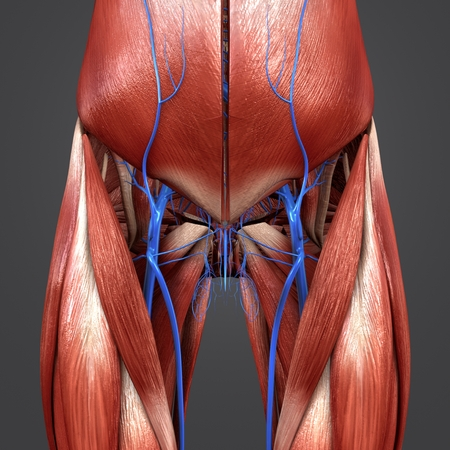 Hip muscles with veins anterior view Stock Photo