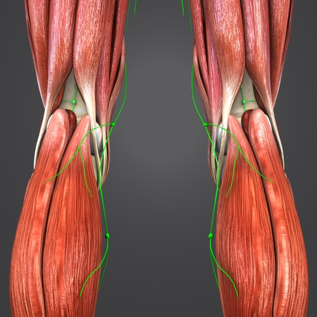 Knee joint muscle anatomy with lymph nodes Stock Photo
