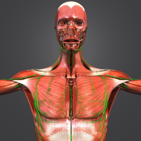 Muscular Anatomy with Lymph nodes Stock Photo