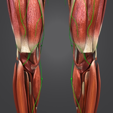 Knee joint with Lymph nodes Anterior view