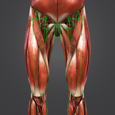 Muscles with Lymph nodes of Hip and Thigh Anterior view