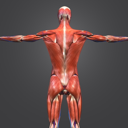 Human Muscular Anatomy with Blood vessels Posterior view Stock Photo