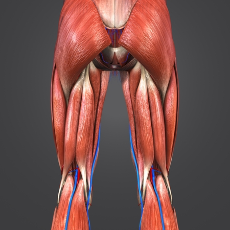 Lower Limbs with Blood vessels Posterior view