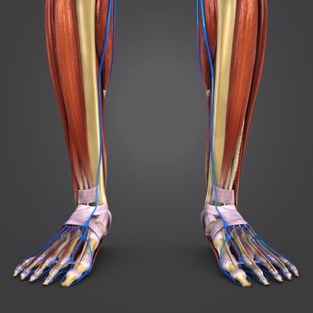 Leg Muscles and Bones with Veins closeup