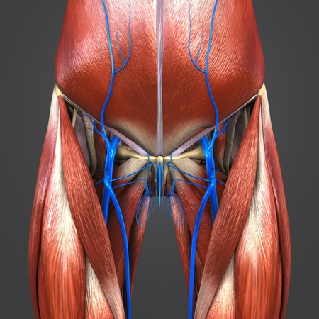 Muscles and Bones with Veins of Hip and Thigh