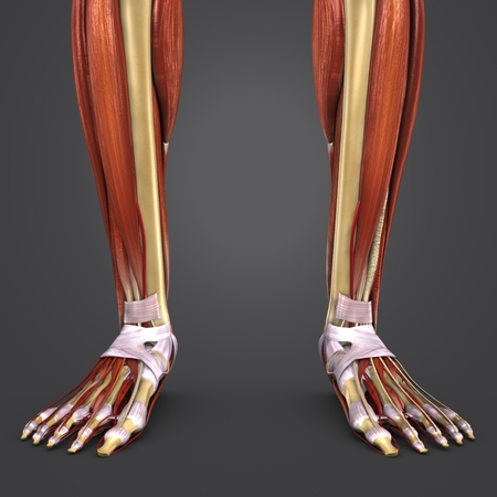 Leg Muscles and Bones anatomy with Arteries closeup