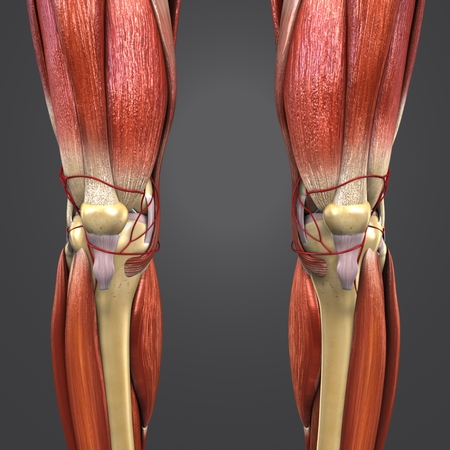Lower Limbs muscles anatomy with Skeleton and Arteries Anterior view Banque d'images