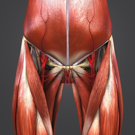 Muscles and Bones with Arteries of Hip and Thigh