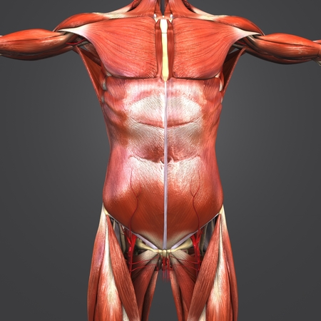 Human muscular Anatomy with skeleton and Arteries