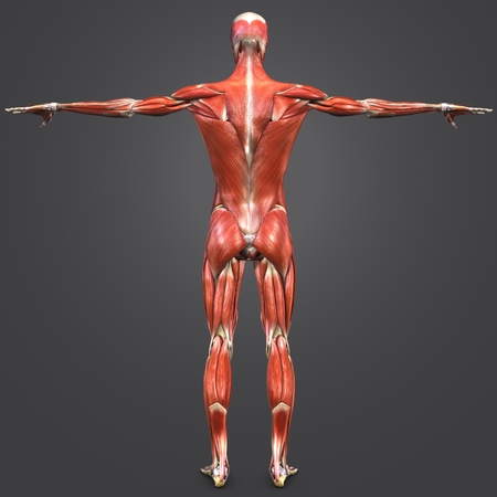 Human Muscular and Skeletal Anatomy with Lymph nodes Posterior view