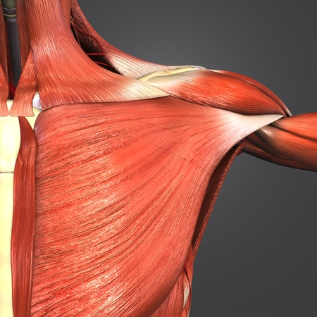 Shoulder Muscles and Skeleton anatomy with Arteries