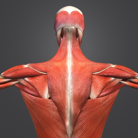 Human Muscular and Skeletal Anatomy with Lymph nodes Posterior view Closeup