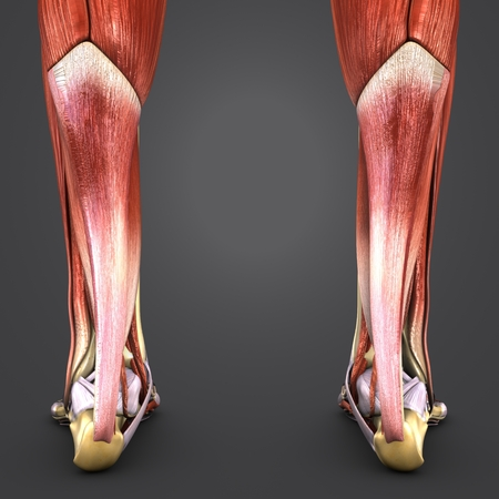 Muscles and Bones of Leg with Lymph nodes Posterior view Closeup