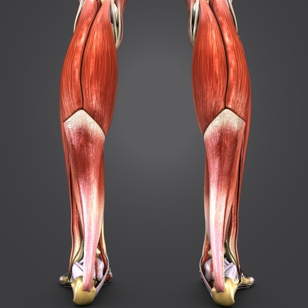Muscles and Bones of Leg with Lymph nodes Posterior view Stock Photo
