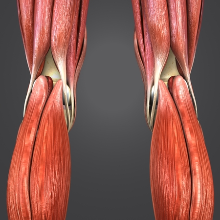 Knee joint muscle anatomy with Lymph nodes Posterior view 写真素材