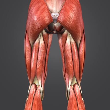 Lower Limbs muscle anatomy with Lymph nodes Posterior view Stock Photo