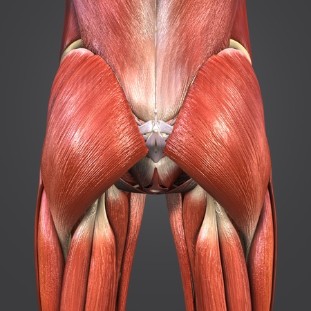 Hip Muscles anatomy with Lymph nodes Stock Photo
