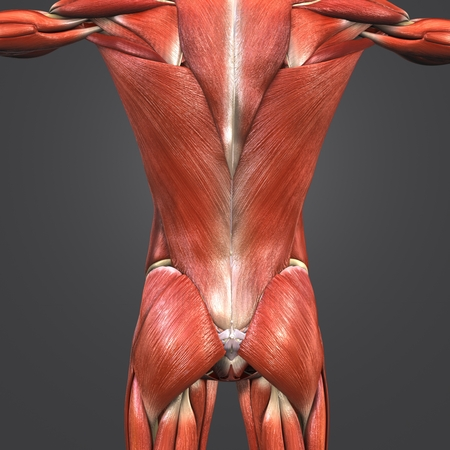 Muscles and Bones at vertebral column with Lymph nodes