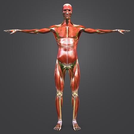 Human Muscular and Skeletal Anatomy with Lymph nodes Anterior view 写真素材
