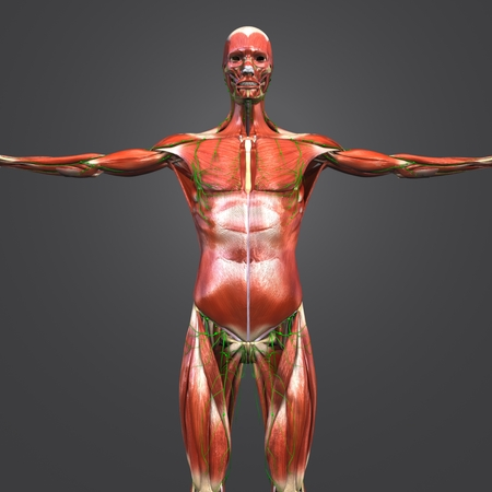 Human Muscular and Skeletal Anatomy with Lymph nodes Anterior view Stock Photo