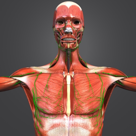 Muscular and Skeleton Anatomy with Lymph nodes Stock Photo