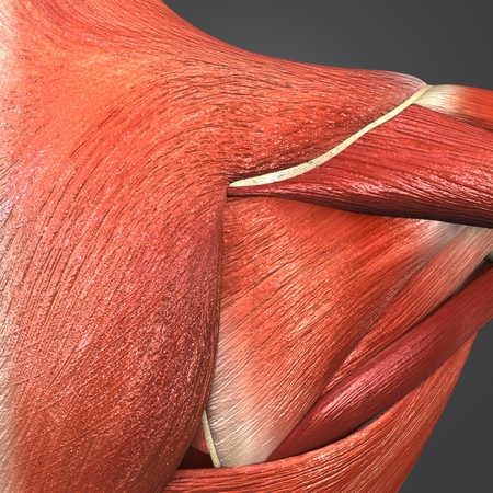 Shoulder Muscles and Bones with Lymph nodes closeup Stock Photo