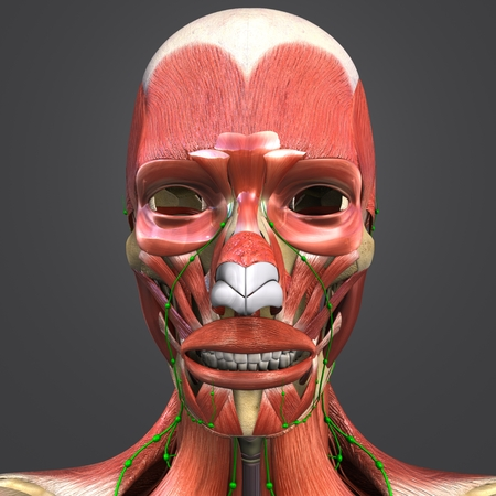 Facial Muscles anatomy with skeleton and Lymph nodes