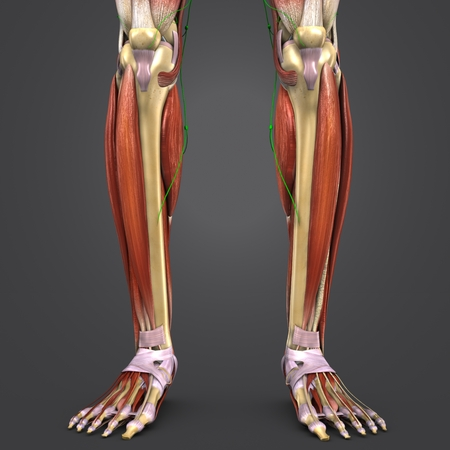 Leg Muscles anatomy with skeleton and Lymph nodes