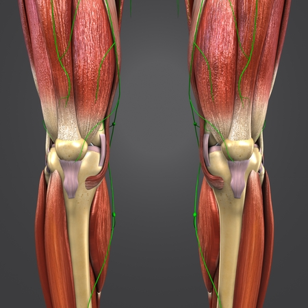 knee joint muscle anatomy with skeleton and Lymph nodes Anterior view