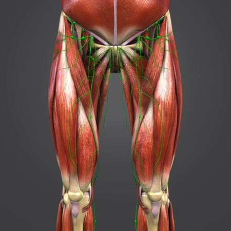 Muscles and Bones with Lymph nodes of Hip and Thigh Anterior view 写真素材