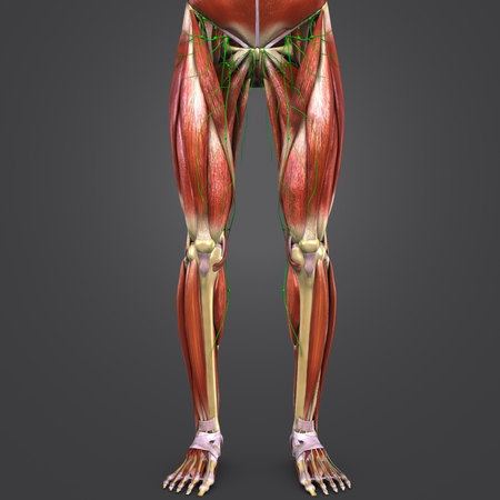 Lower Limbs muscle anatomy with Lymph nodes Anterior view