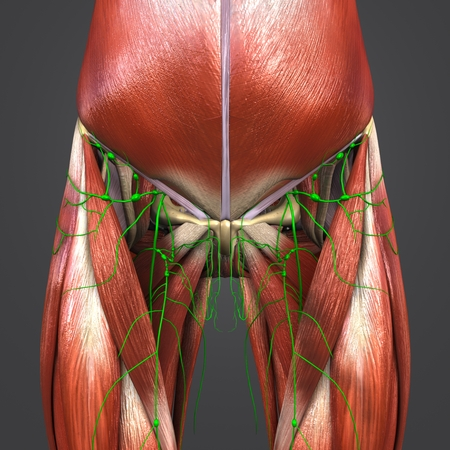 Muscles and Bones with Lymph nodes of Hip and Thigh 写真素材 - 101823915