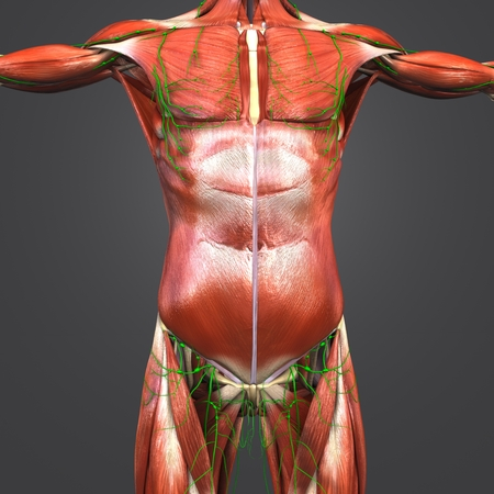 Human muscular anatomy with skeleton and lymph nodes Stock Photo