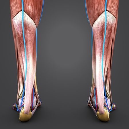 Muscles and Bones of Leg with Blood vessels Posterior view Closeup