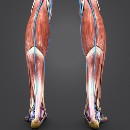 Muscles and Bones of Leg with Blood vessels Posterior view Stock Photo