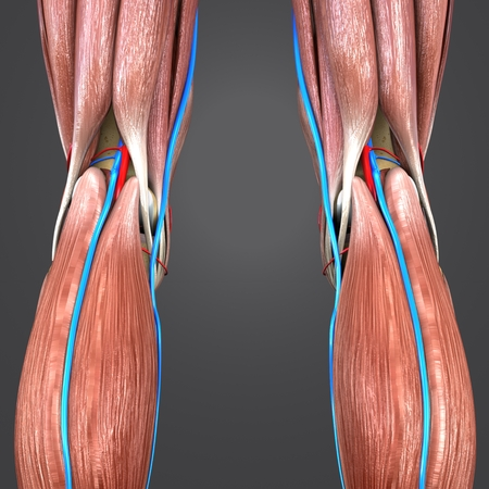 Knee joint muscle anatomy with Blood vessels Posterior view