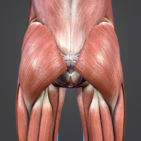 Hip Muscles anatomy with Blood vessels