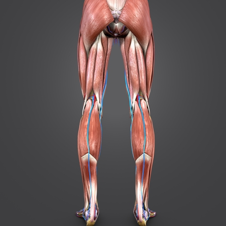 Lower Limbs muscle anatomy with Blood vessels Posterior view