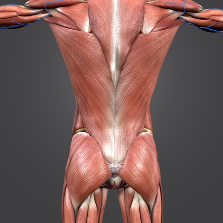 Muscles anatomy at vertebral column with Blood vessels Stock Photo