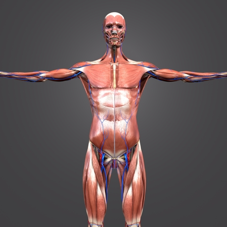 Human Muscular and Skeletal Anatomy with blood vessels Anterior view